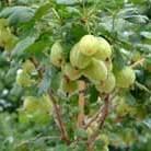 gooseberry 'Invicta' (gooseberry)