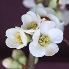Chaenomeles speciosa 'Nivalis' (flowering quince)