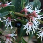 Sarcococca hookeriana var. digyna (sweet box)