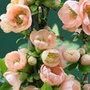 Chaenomeles speciosa 'Geisha Girl' (flowering quince)