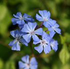 Ceratostigma willmottianum Forest Blue  ('Lice') (PBR) (Chinese plumbago)