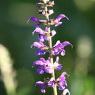 Salvia x sylvestris 'Mainacht' (sage  (syn. Salvia May Night))