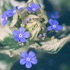 Brunnera macrophylla 'Dawson's White' (Siberian bugloss (syn. 'Variegata'))