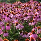 Echinacea purpurea 'Kim's Knee High' (PBR) (coneflower)