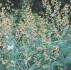 Macleaya microcarpa 'Kelway's Coral Plume' (plume poppy)