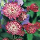 Astrantia major 'Rubra' (masterwort)