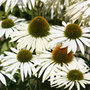 Echinacea purpurea &#x27;White Swan&#x27; (coneflower)