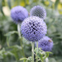 globe thistle