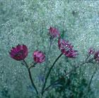 Deschampsia cespitosa 'Goldtau' (tufted hair grass  (syn. Golden Dew))