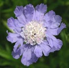 Scabiosa caucasica 'Clive Greaves' (pincushion flower)