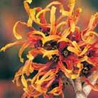 Hamamelis x intermedia 'Jelena' (witch hazel)