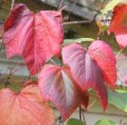 Vitis coignetiae (crimson glory grape vine)