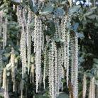Garrya elliptica 'James Roof' (silk tassel bush)