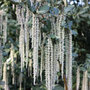Garrya elliptica 'James Roof' (silk tassel bush)