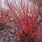 Cornus alba 'Sibirica' (red barked dogwood)