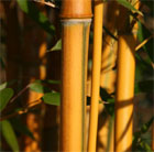 Phyllostachys aureosulcata f. spectabilis (showy yellow groove bamboo)