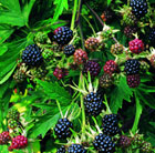 blackberry 'Oregon Thornless' (blackberry)