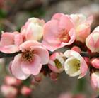 Chaenomeles speciosa 'Moerloosei' (flowering quince)