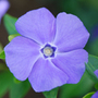lesser periwinkle (syn. &#x27;Bowles Variety&#x27;)