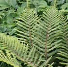 Polystichum polyblepharum (Japanese tassel fern)