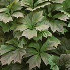 Rodgersia podophylla (rodgersia)