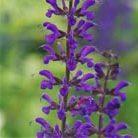 Salvia nemorosa 'Caradonna' (sage)