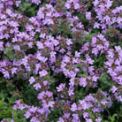Thymus pseudolanuginosus (woolly thyme)