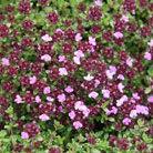Thymus 'Coccineus Group' (thyme)