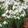 Galanthus nivalis (common snowdrop bulbs)