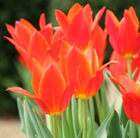 Tulipa 'Ballerina' (lily flowered tulip bulbs)