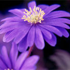 Anemone blanda blue flowered (winter windflower blue flowered bulbs)
