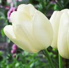 Tulipa 'Maureen' (single late tulip bulbs)