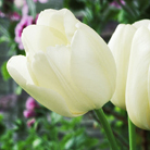 Tulipa 'Maureen' (single late tulip bulbs)