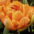 Tulipa 'Orange Princess' (double late tulip bulbs)
