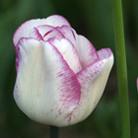 Tulipa 'Shirley' (triumph tulip bulbs)