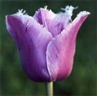 Tulipa 'Blue Heron' (fringed tulip bulbs)