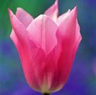 Tulipa 'China Pink' (lily flowered tulip bulbs)