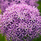 Allium 'Globemaster' (ornamental onion bulbs)