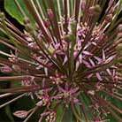 Allium schubertii (ornamental onion bulbs)