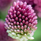 Allium sphaerocephalon (round headed leek bulbs)