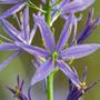 Camassia leichtlinii (camassia bulbs)