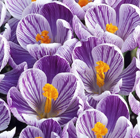 Crocus x cultorum 'Pickwick' (Dutch crocus bulbs)