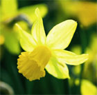Narcissus 'February Gold' (cyclamineus daffodil bulbs)
