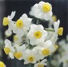 Narcissus 'Avalanche' (tazetta daffodil bulbs)