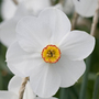 Narcissus 'Actaea' (poeticus daffodil bulbs)