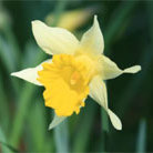 Narcissus lobularis (species daffodil bulbs)