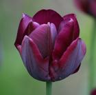 Tulipa 'Ronaldo' (triumph tulip bulbs)