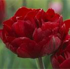 Tulipa 'Antraciet' (double late tulip bulbs)