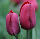 Tulipa 'Jan Reus' (triumph tulip bulbs)