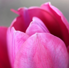 Tulipa 'Blue Ribbon' (triumph tulip bulbs)